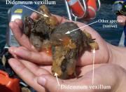 Carpet sea squirt, Didemnum vexillum (Credit Niall Moore)