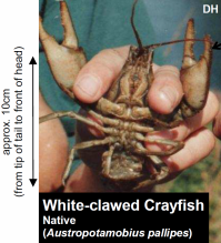 White-clawed Crayfish - curtesey of NNSS